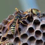 Quelles solutions pour la destruction de nids de guêpes ?