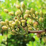 Le pistachier lentisque, arbre aux multiples vertus