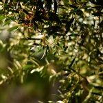 Pourquoi l'olivier perd-il ses feuilles?