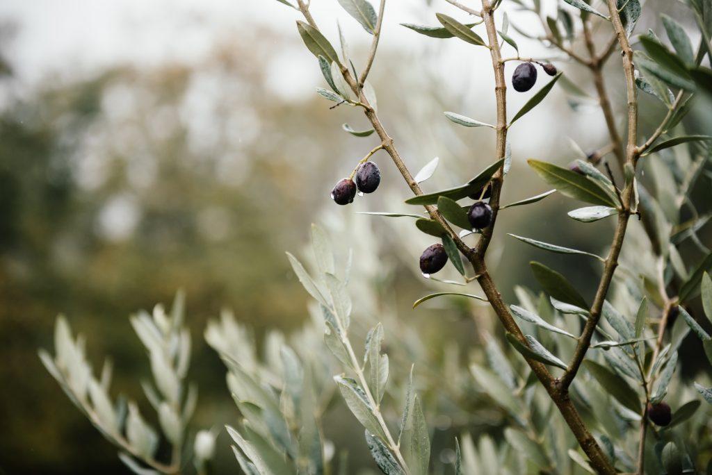 Pourquoi l'olivier perd-il ses feuilles